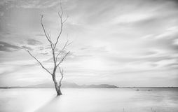 Lonely dead tree Royalty Free Stock Image