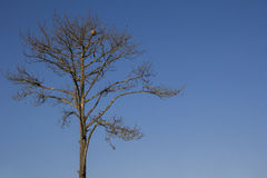 Lonely dead tree in blue sky Stock Photos