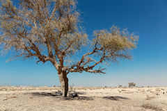 Lonely dead tree in the desert Royalty Free Stock Photo