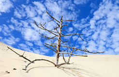 Lonely dead tree on the dune of Pilat, France Stock Photography