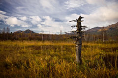 Lonely dead tree on a marsh. Russia, South Ural, marsh near Beloretsk city Stock Photos