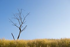 Lonely dead tree in meadow on blue sky Royalty Free Stock Photos