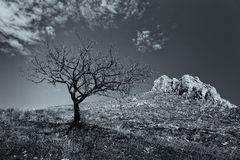 Lonely dead tree with mountain rocks in the background Royalty Free Stock Photography