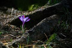 Free Lonely Delicate Fragile Crocus Among Dark Tree Roots Stock Photography - 174535672