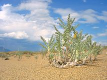 Lonely desert plant Royalty Free Stock Photography