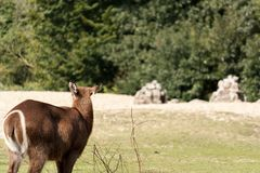 Lonely doe in the field stock photography