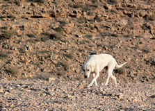 A lonely dog. A dog traveling in the desert Royalty Free Stock Photos