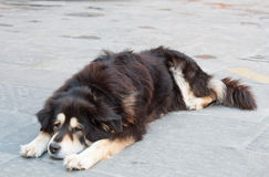 Lonely dog at the street. Outcast and lonely different colours dog is lying at the street in Florence, Italy Royalty Free Stock Photos