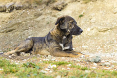 The lonely dog. Picture at a dog resting Stock Images