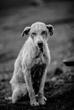 Lonely dog. Sitting in dry field Royalty Free Stock Photo