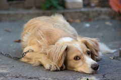 Lonely dog. With sad eyes lays on the asphalt Stock Photo