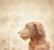 lonely dog Royalty Free Stock Photo