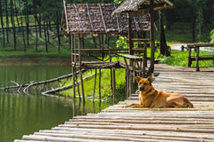 Lonely dog at bamboo Raft in Pang- Oung Lake park ,Mae Hong Son Royalty Free Stock Photo