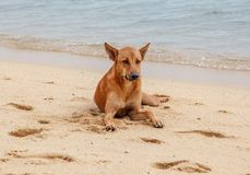 Lonely Dog On The Beach. At Samui Island, Thailand Royalty Free Stock Photo
