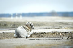 Lonely dog on a chain Royalty Free Stock Photography
