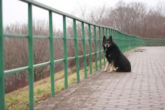 Lonely dog at the fence. Background, beautiful, black, breed, cane, closeup, copy, corso, dog, male, portrait, space, black, loneliness, solitude, desolation Stock Photos