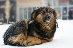 Lonely dog freezing on the street while snowing Royalty Free Stock Photography