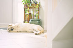 Lonely dog. Laid down in the hall waiting for her owner Stock Photos