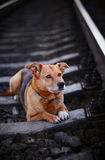 The lonely dog lies on rails. Stock Images