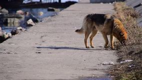 The lonely dog. A lonely dog is looking for food. Dog without owner stock video