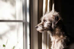 Lonely Dog Looking Out Window Stock Photo