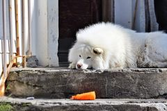 A lonely dog. A dog outside it's home in Reykjavik, Iceland. Emotional scene. The dog has a staring gaze in his eyes while not paying attention to the Stock Photography