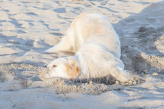 Lonely dog relaxes on sand beach in Thailand. Stock Photography