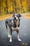 Lonely dog on the road. In autumn park royalty free stock image