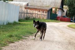 Lonely dog in rural areas. Stray dog. Lonely dog in rural areas royalty free stock photography
