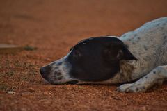 Lonely Dog on sand Field stock photography