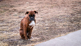 Lonely dog Royalty Free Stock Images