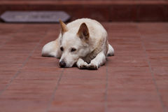 Lonely. Dog sleeping boss lonely waiting Royalty Free Stock Photography