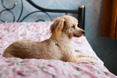 Lonely dog waiting for someone. On the bed Stock Image