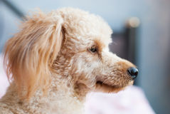 Lonely dog waiting for someone. On the bed Stock Photography