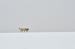 Lonely dog walks on snow Royalty Free Stock Photo