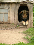 Lonely dog watching out of his kennel. Lonely chained dog watching out of his kennel Stock Photography