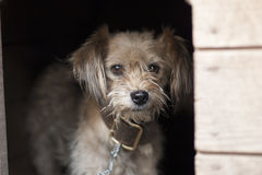 Lonely dog watching out of his kennel. Little sad dog on chain sitting in booth. Lonely dog watching out of his kennel. Little sad dog on chain in booth royalty free stock photos