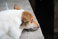 Lonely dogs lying with sadness. White brown dog lying near dirty river royalty free stock photos