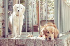 Lonely Dogs. Two lonely dogs behind bars stock photography