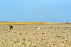 Lonely Donkey. Little donkey in the wilderness of the Jordanian Plains royalty free stock photo