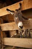 Lonely Donkey Looking Out of His Pen Royalty Free Stock Photos