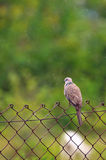 Lonely Dove 2 Royalty Free Stock Photos