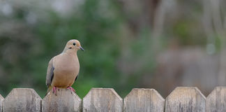 Lonely Dove. Sitting on the fence royalty free stock photography