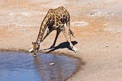 Lonely drinking giraffe Stock Photo