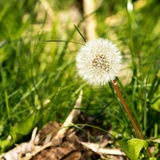 Lonely dry dandelion Royalty Free Stock Photo