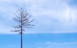 Lonely dry dead tree on blue sky background stock photo