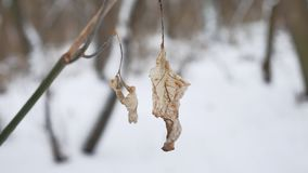 Lonely dry leaf sways in the wind on a tree branch in winter forest winter snow nature landscape. Lonely dry leaf sways in wind on a tree branch in winter forest Royalty Free Stock Photo