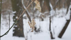 Lonely dry leaf sways in the wind on a tree branch in the winter forest winter snow nature landscape. Lonely dry leaf sways in wind on a tree branch in the Royalty Free Stock Images