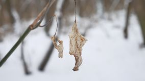 Lonely dry leaf sways in the wind on a tree branch in winter forest winter snow nature landscape. Lonely dry leaf sways in wind on a tree branch in winter forest Royalty Free Stock Photos
