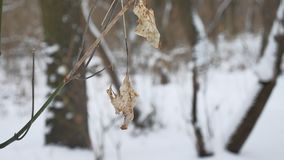 Lonely dry leaf sways in the wind on a tree branch in the winter forest winter snow nature landscape. Lonely dry leaf sways in wind on a tree branch in the Stock Images